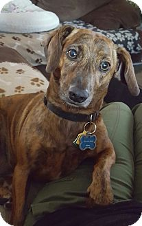 Dachshund/Beagle Mix Dog for adoption in Tampa, Florida - Kinzi