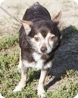 Chihuahua Mix Dog for adoption in Bedford, Indiana - Duce