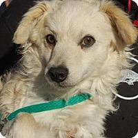 Adopt A Pet :: Lance - Brooklyn, NY
