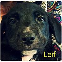 Adopt A Pet :: Lief - Allen, TX