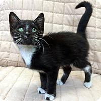 Adopt A Pet :: Checkers - Bonner Springs, KS