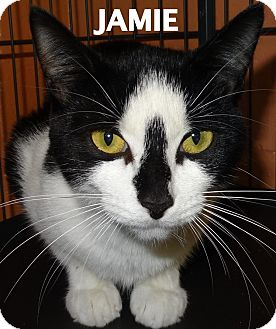 Domestic Shorthair Cat for adoption in Lapeer, Michigan - Jamie