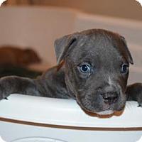 Adopt A Pet :: Komodo - Dallas, GA