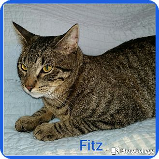 Domestic Shorthair Cat for adoption in Arlington/Ft Worth, Texas - Fitz