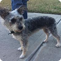 Adopt A Pet :: Scruffy - Rocky Hill, CT
