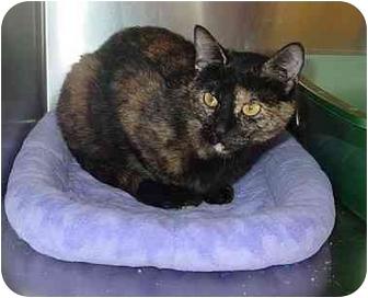 Calico Cat for adoption in Bartlett, Illinois - Ariela