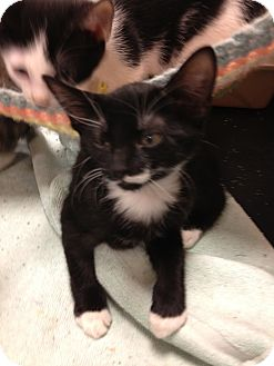 Domestic Shorthair Kitten for adoption in Fort Lauderdale, Florida - Lila