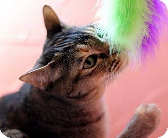 Domestic Mediumhair Cat for adoption in Alexandria, Virginia - Ola