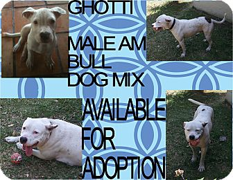 American Pit Bull Terrier Dog for adoption in Hollywood, Florida - GHOTTI