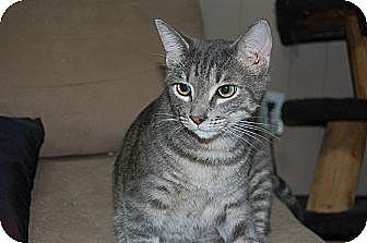 American Shorthair Cat for adoption in Jackson, Mississippi - Turner
