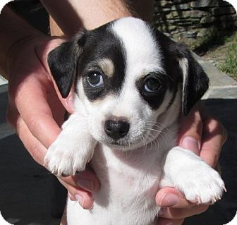 Fannie Adopted Puppy Santa Ana Ca Jack Russell