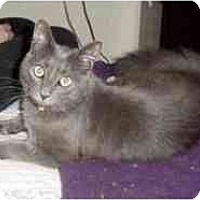 Domestic Longhair Cat for adoption in Pasadena, California - Pewter