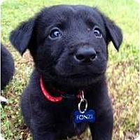Adopt A Pet :: Fonzi - Richmond, VA