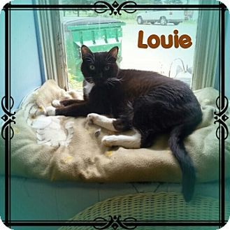 Domestic Shorthair Cat for adoption in New Richmond,, Wisconsin - Louie