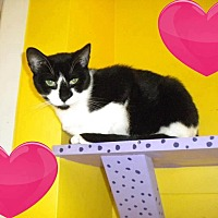 Domestic Shorthair Cat for adoption in Westbury, New York - Mona