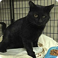 Domestic Shorthair Cat for adoption in San Angelo, Texas - Draco