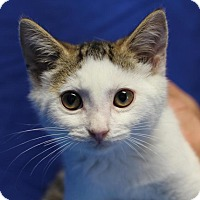 Domestic Shorthair Kitten for adoption in Winston-Salem, North Carolina - Dorian