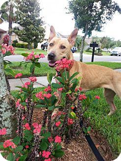 Basenji/Shepherd (Unknown Type) Mix Dog for adoption in Tampa, Florida - Nikki