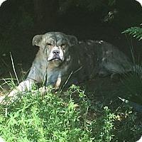 Adopt A Pet :: JOJO - Spring Valley, NY