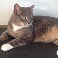 Domestic Shorthair Cat for adoption in Merrifield, Virginia - Angel