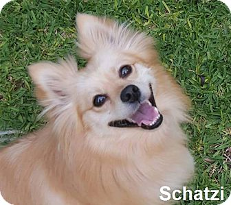 American Eskimo Dog/Pomeranian Mix Dog for adoption in Lake Forest, California - Schatzi