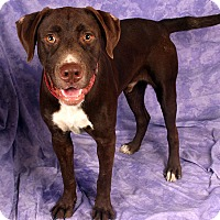 Adopt A Pet :: Kenny Lab - St. Louis, MO