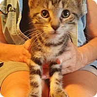 Domestic Shorthair Kitten for adoption in Toledo, Ohio - Ingrid