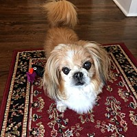 Pekingese Mix Dog for adoption in Alpharetta, Georgia - Cong