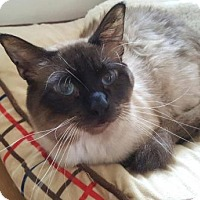 Siamese Cat for adoption in Austin, Texas - Tommy 3