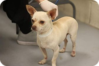Chihuahua Dog for adoption in conroe, Texas - Ozzie