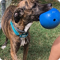 Adopt A Pet :: Marley - Spring Valley, NY