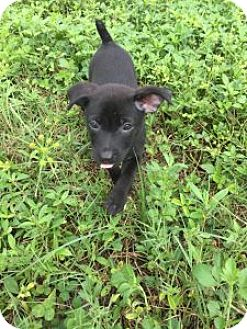 Terrier (Unknown Type, Medium) Mix Puppy for adoption in Pompano beach, Florida - Lola