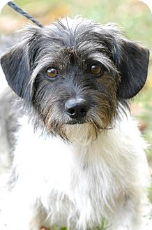 Terrier (Unknown Type, Medium)/Dachshund Mix Dog for adoption in Johnson City, Tennessee - pep
