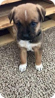 Shepherd (Unknown Type)/Blue Heeler Mix Puppy for adoption in Fair Oaks Ranch, Texas - Monty