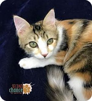 Calico Kitten for adoption in Raleigh, North Carolina - Abigail