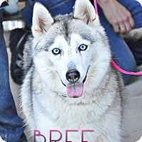 Siberian Husky Dog for adoption in Carrollton, Texas - Bree