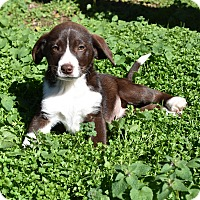 Adopt A Pet :: Candi - Groton, MA