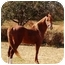 Photo 1 - Saddlebred/Arabian Mix for adoption in Old Fort, North Carolina - Ayden