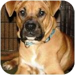 Boxer Mix Puppy for adoption in Gilbert, Arizona - RUGBY