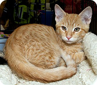 Domestic Shorthair Cat for adoption in Sacramento, California - Tyson S