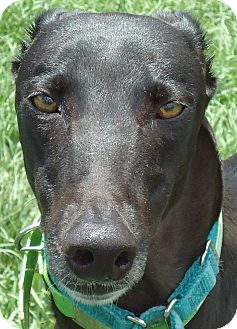 Greyhound Dog for adoption in Longwood, Florida - Kiowa Ty Tipps