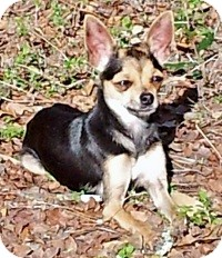 Chihuahua Mix Dog for adoption in AUSTIN, Texas - IZZY