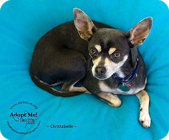 Chihuahua Mix Dog for adoption in Phoenix, Arizona - Christabelle