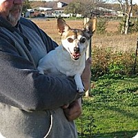 Jack Russell Terrier/Rat Terrier Mix Dog for adoption in Westport, Connecticut - Autumn