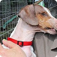 Adopt A Pet :: ROSIE - Portland, OR