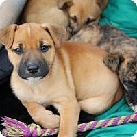 Adopt A Pet :: Baby Sugar - Marlton, NJ