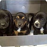 Adopt A Pet :: 6 Puppies - Wahoo, NE