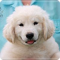 Adopt A Pet :: Falcore - Albany, NY