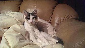 Domestic Shorthair Cat for adoption in Whitestone, New York - Sophie