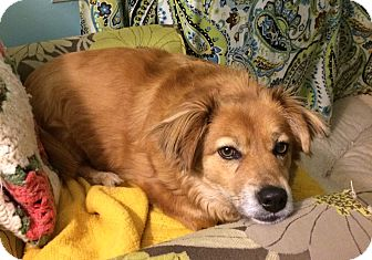 Golden Retriever/Corgi Mix Dog for adoption in Homewood, Alabama - Winnie